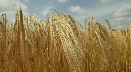 Malting barley negotiations – another poor show from the IFA hierarchy