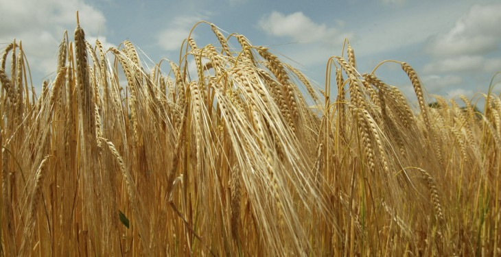New season barley crops yielding 4t/ac