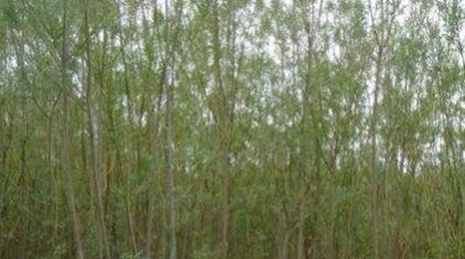 Tilting trees causes them to produce more sugars for biofuel