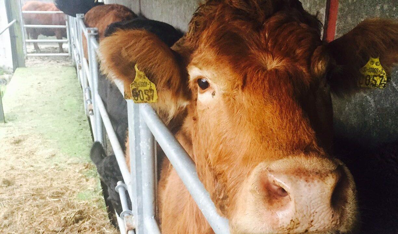 Ireland's suckler cow herd at lowest level in years