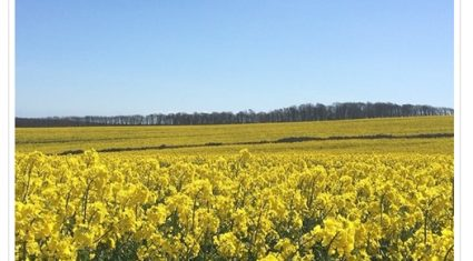Good weather brings infestations of pollen beetle to oilseed rape crops