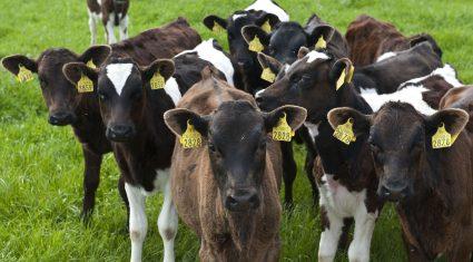 Over 87,000 extra dairy calves born so far this spring