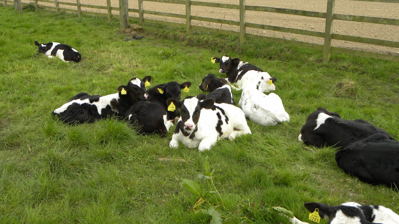 What to do with male dairy-type calves