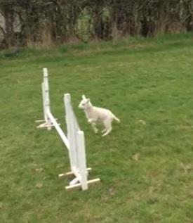 Lamb thinks its a horse