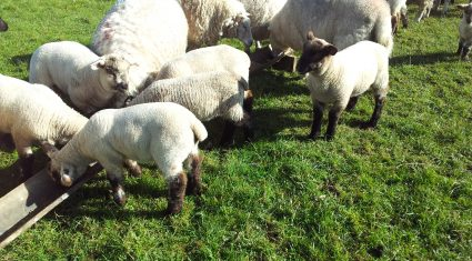 How to manage sheep when grass is scarce