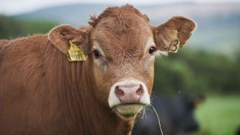 Limousin and Charolais lead the way in Northern calf registrations