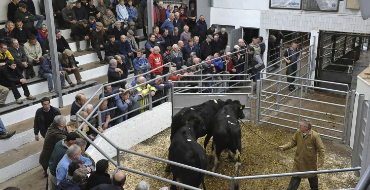 Fears of future beef market collapse due to dairy calf boom