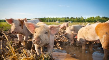 Pig prices move in the right direction – IFA