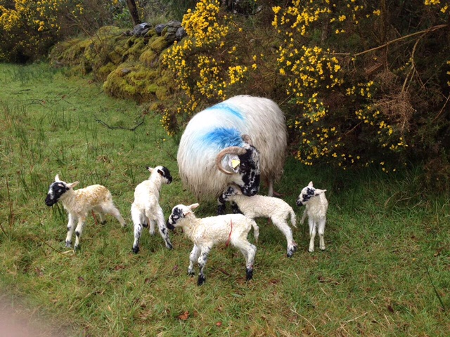 Meet the Scotch ewe in Kerry that gave birth to five lambs this year