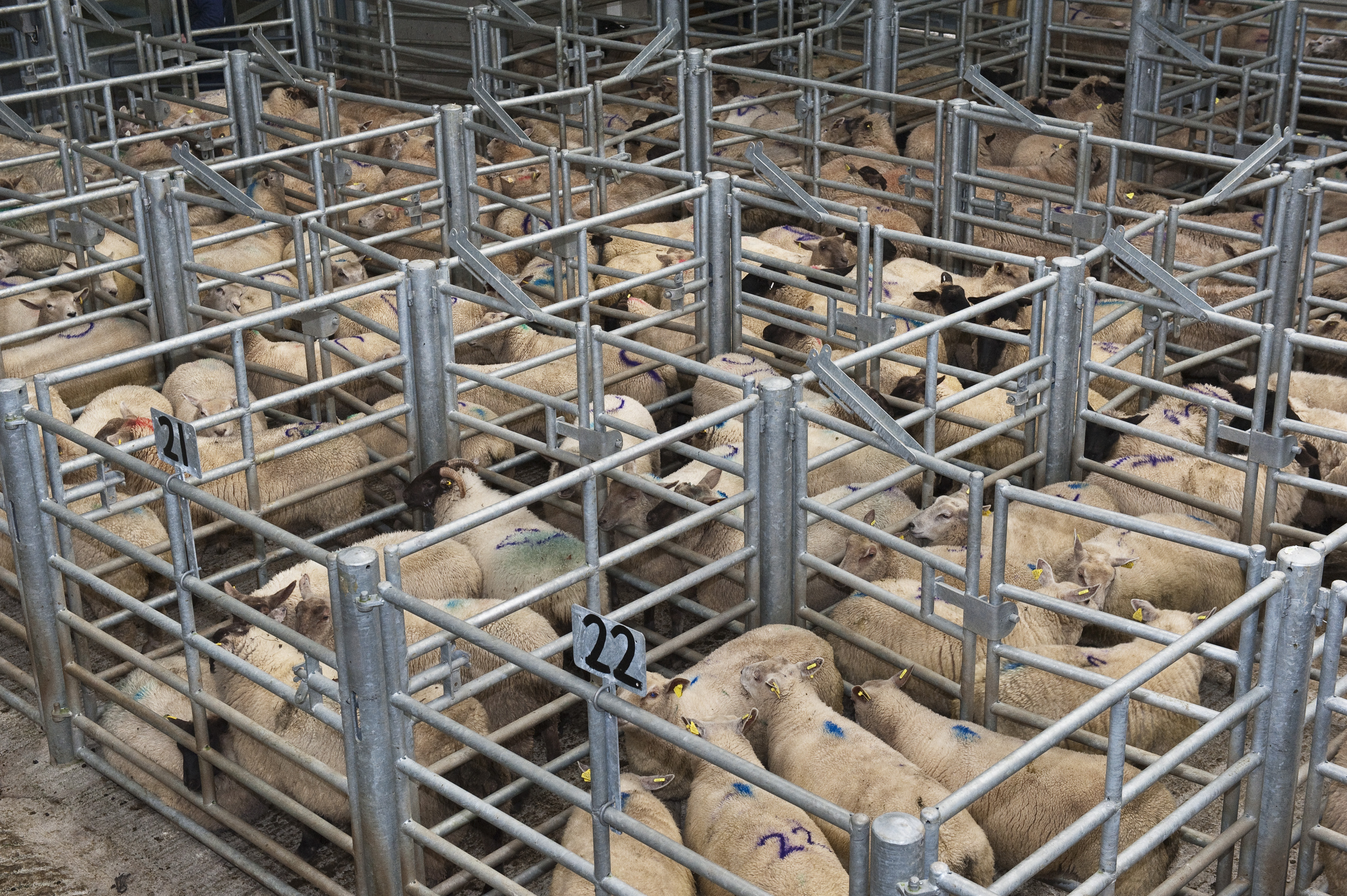 Sheep penned in mart. Photo O'Gorman Photography.