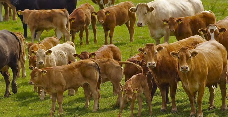 Calving at two years 'critical to suckler success'