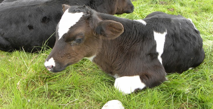 Key tips to maximise growth rates from calves fed powder milk