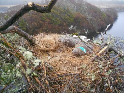 13th confirmed poisoning of White-tailed Eagle