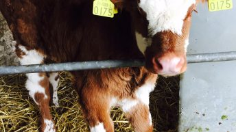 Six steps to prevent animal exposure to BVD during the breeding season