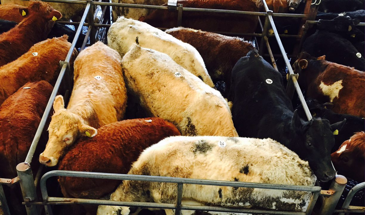 Cattle trade continues to edge upwards (slowly)