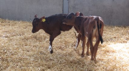 Department to name and shame farmers with BVD cattle