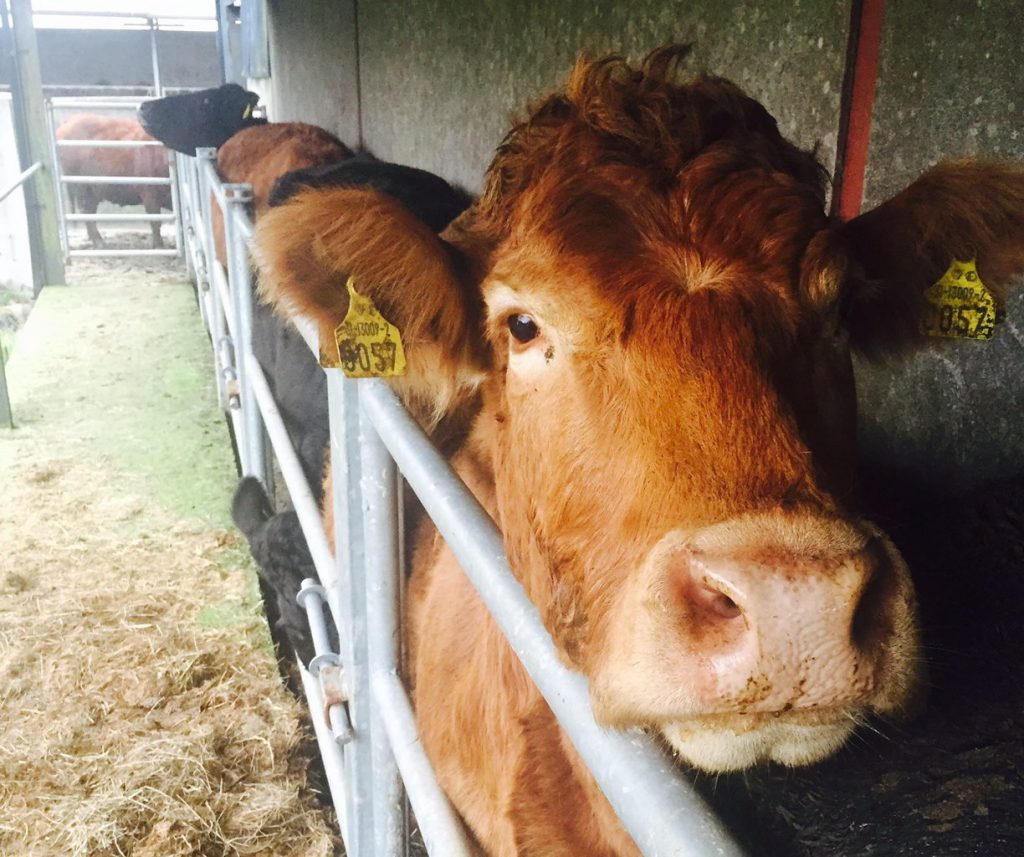Housing is one of the best times to treat cattle for