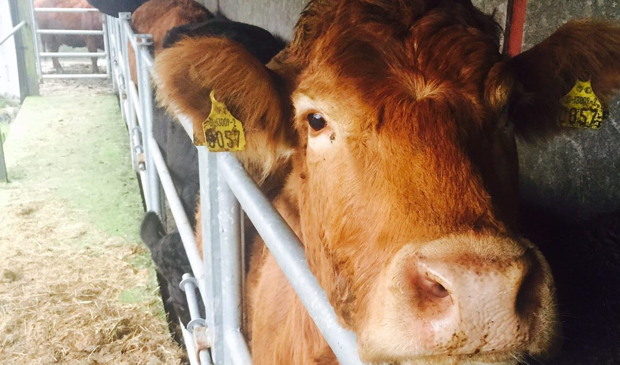 Housing is one of the best times to treat cattle for parasites – Teagasc