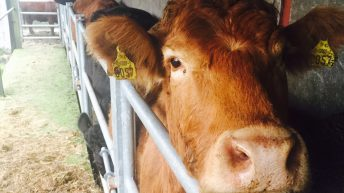 Tips: Accidents involving cattle are almost entirely avoidable