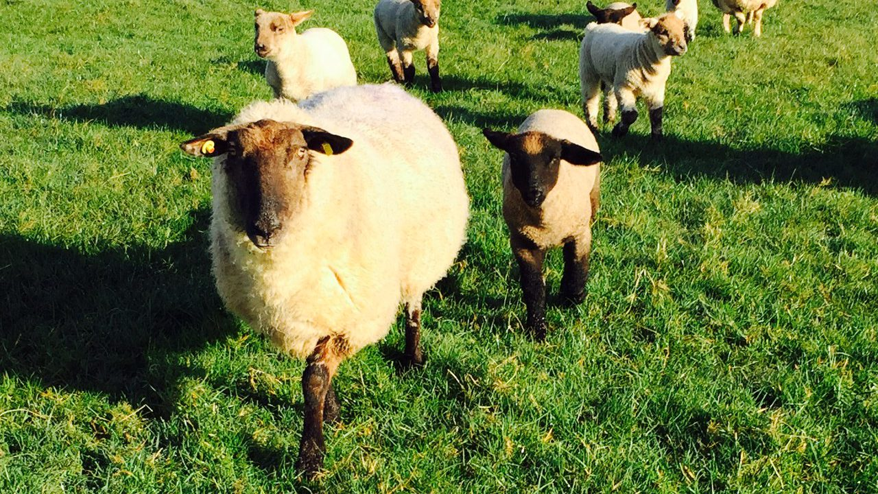 Sheep trade easing following Easter
