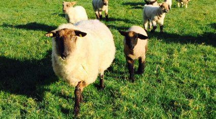 Sheep farmers warned of heightened risk of Nematodirosis in lambs