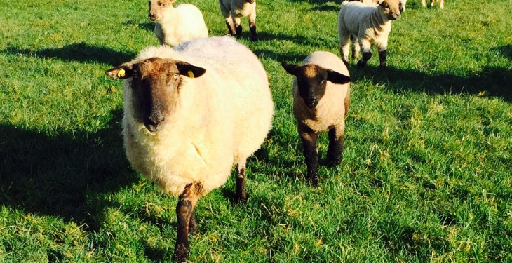 Sheep farmers warned of heightened risk of Nematodirosis in lambs
