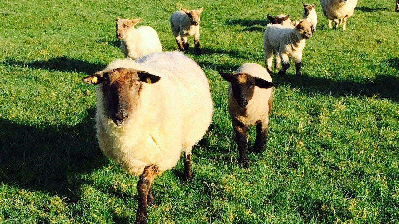 ICSA dismisses MII 'scaremongering' on sheep