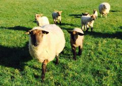Tagging newborn lambs 'a welfare issue and must change'
