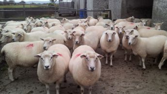 Time to draft thinner ewes on to better feed