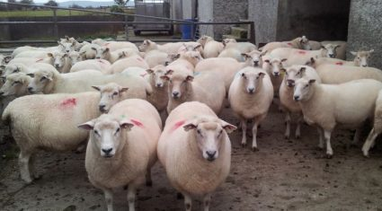 Irish sheep flock has decreased by 1.2 million in the past 10 years