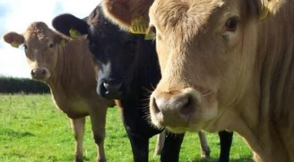 Ireland retains its place on EU cattle price table