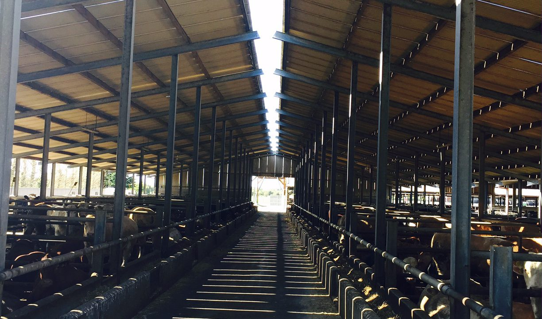 Video: Inside Kepak's feedlot finishing 3,500 cattle a year