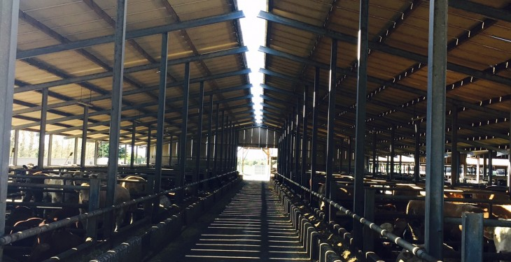 Video: Inside Kepak's feedlot finishing 3,500 cattle a year