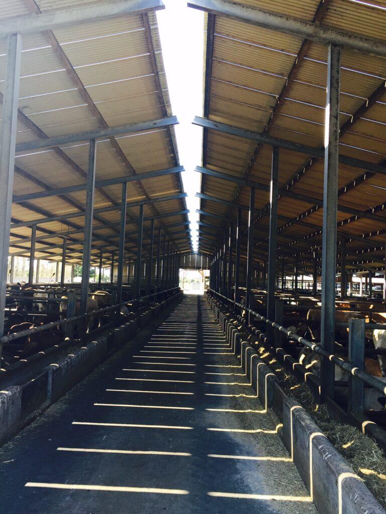 Video Inside Kepak S Feedlot Finishing 3 500 Cattle A