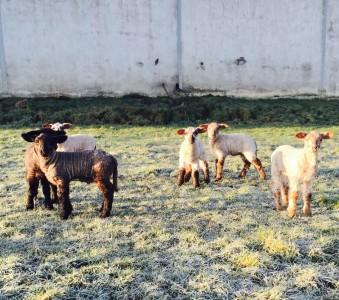 lambs 3