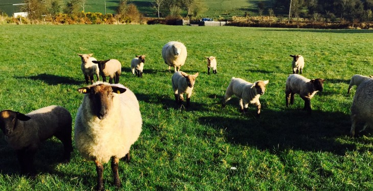 Grass is the only feed ewes need, unless they have triplets – Teagasc