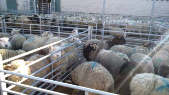 Sheep marts: Trade steady, but factory-fit lamb prices back slightly