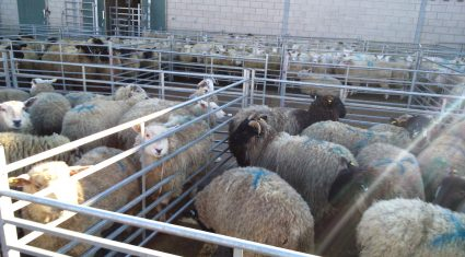 UK sheep meat production on the rise – highest figures in 12 years