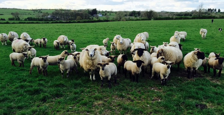 Sheep farmers with thistles, nettles, docks or rushes – here's how to get rid of them