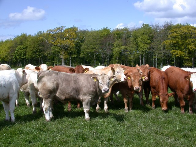 Irish cattle prices continue to rise, up 6.9c/kg