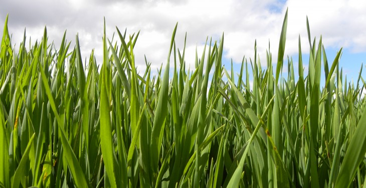 Crops behind normal as weather hits growth