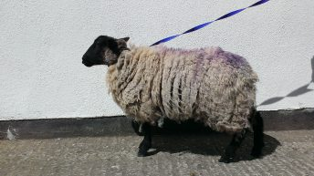 Ewe kidding? Sheep found in Dublin city centre flats