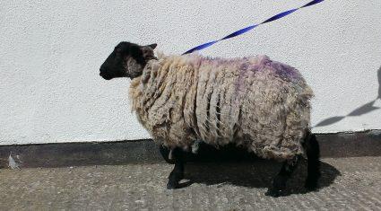 Ewe kidding? Sheep found in Dublin city centre flats