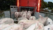 Pressure remains on pig price as feed costs 'show signs' of dip