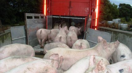 Brazil steps in to fill the Russian demand for pigmeat