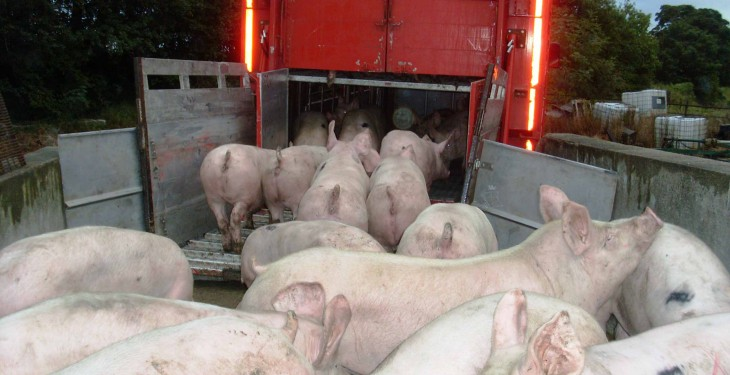 Close to 180 finished pigs stolen in 'professional raid'