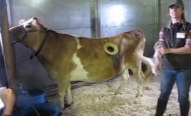 Holy cow: Window in cow's side shows what cud happen during digestion!