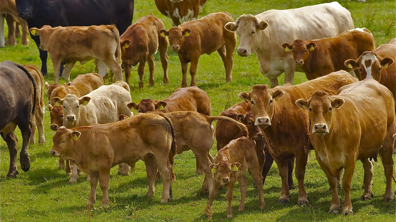 North's beef sired calf registrations up 10% (dairy registrations down 2.5%)