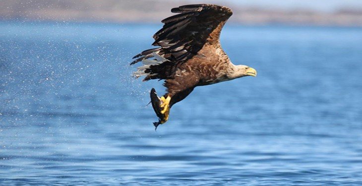 White Tailed Sea Eagles to soar again this summer