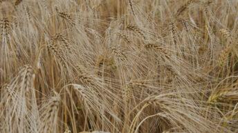 Watch: Winter barley harvest along the Liffey